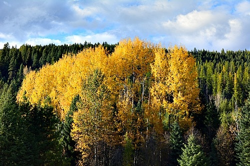 Easy to find Trembling Aspen, but where is the Birch?