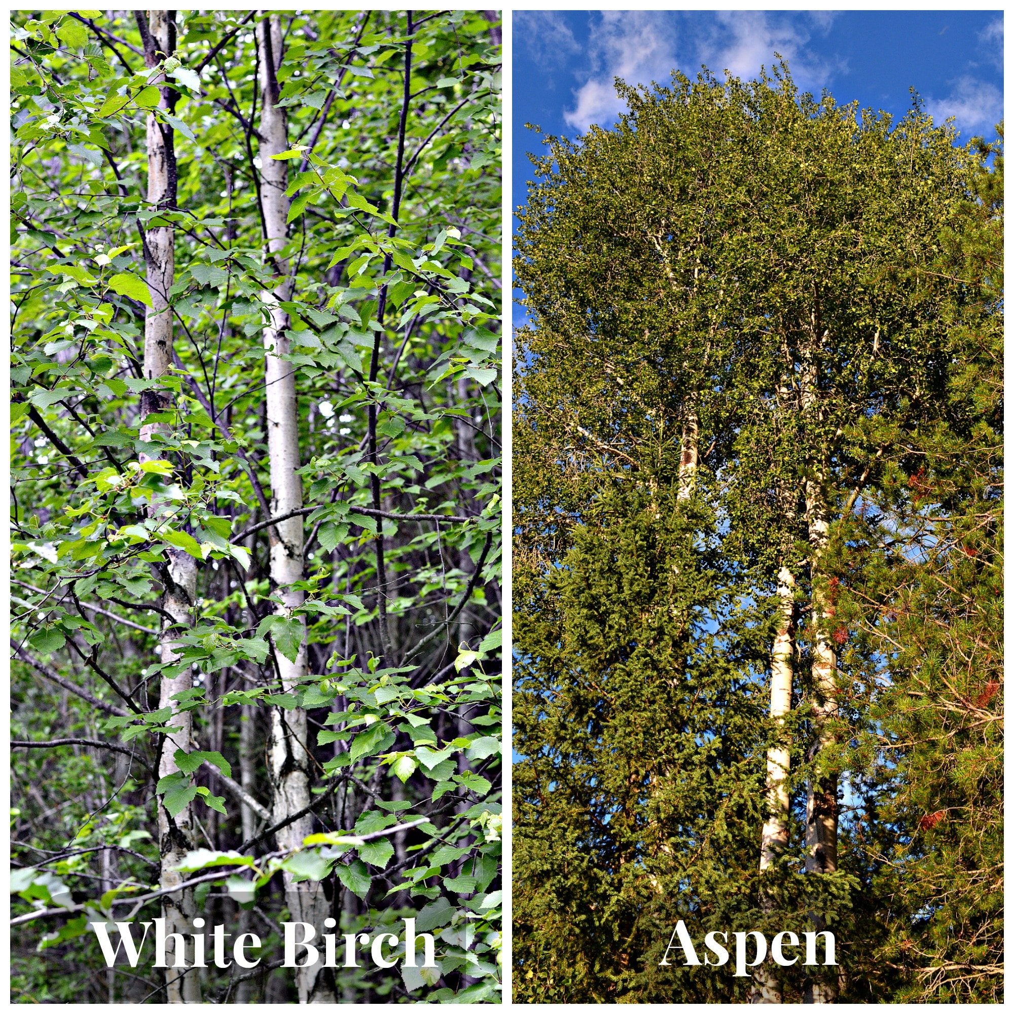 A comparison of Birch (left) and Aspen (right)