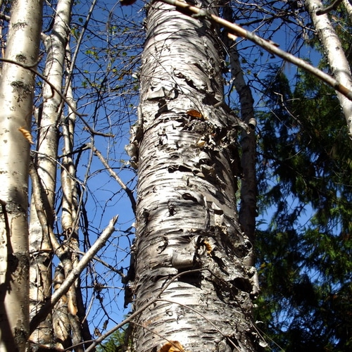 A standing dead Birch tree surrounded by saplings