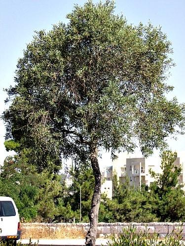 Olive Wood, an olive tree in Jerusalem Israel